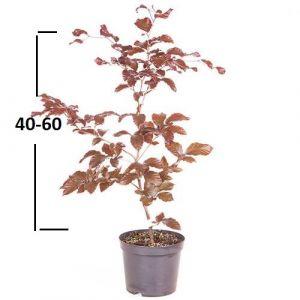 Buk lesní ´ATROPUNICEA´ 40-60 cm, (kontejner)