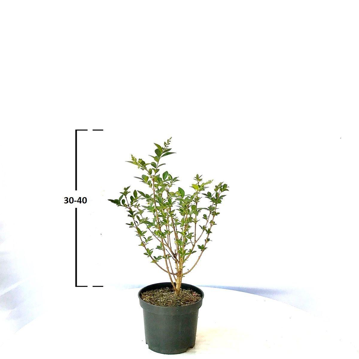 Ligustrum ovalifolium ´OVALIFOLIUM´ 30-40 cm, kontejner (Ptači zob)