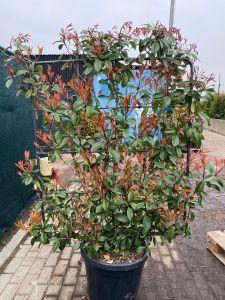Blýskavka Fraserova 'RED ROBIN' 150-175  cm STĚNA
