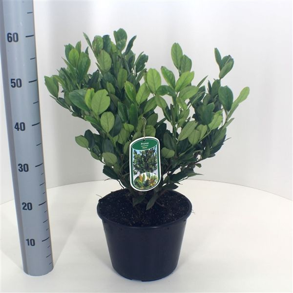 Prunus laurocerasus 'MANO' 30-40 cm, kontejner (Bobkovišeň)