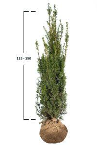 Tis prostřední ´Hicksii´ 125-150 cm