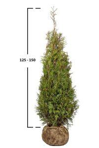 Túje řasnatá 'MARTIN' 125-150 cm