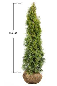 Túje západní 'SMARAGD' 120-140 cm