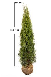Túje západní 'SMARAGD' 130-160 cm