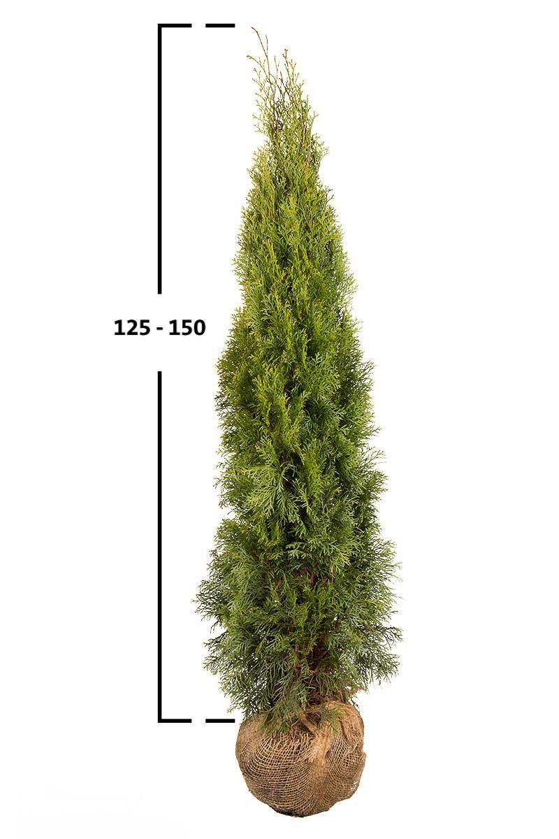 Túje západní 'SMARAGD' 125-150cm
