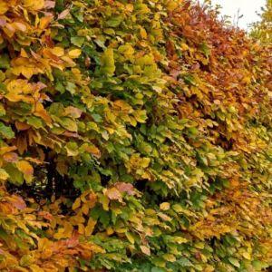 Carpinus betulus 80-100 cm, kontejner (Habr)