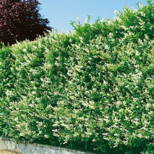 Ptačí zob vejčitolistý ´OVALIFOLIUM´ kvetoucí plot