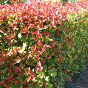 Blýskavka Fraserova 'RED ROBIN' plot