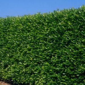 Bobkovišeň obecná 'CAUCASICA' plot