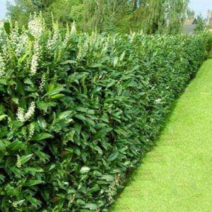 Bobkovišeň obecná 'GENOLIA ' plot
