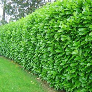 Bobkovišeň obecná 'NOVITA'  plot