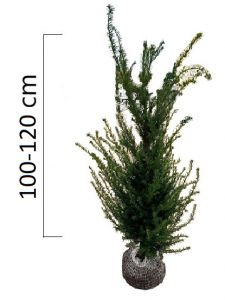 Taxus baccata 100-120 cm, (Tis)