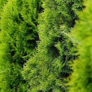 Thuja occidentalis ´Golden Smaragd´ 20-40cm