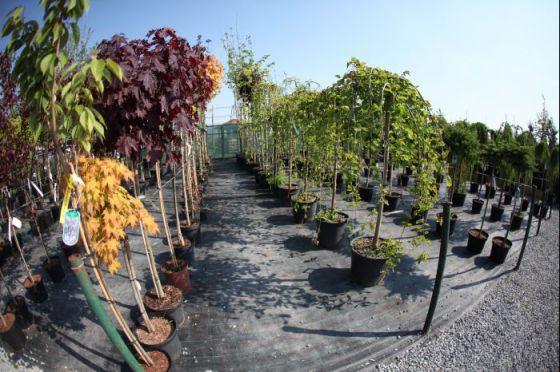 Alejové stromy 2