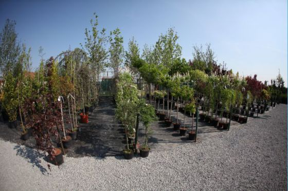 Alejové stromy 3