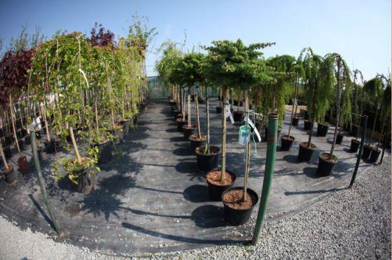 Alejové stromy 4
