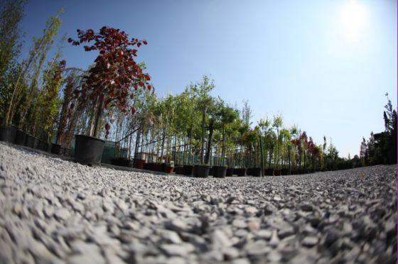 Alejové stromy 6