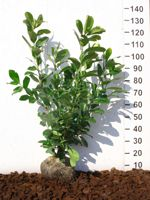 Bobkovišeň lékařská Prunus laurocerasus