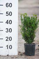 Buxus zimostráz sempervirens
