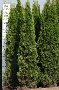 Tůje Smaragd Thuja occidentalis Smaragd na živý plot