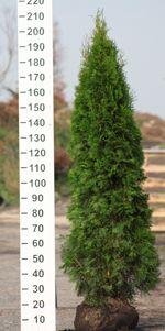 Tůje Smaragd na živý plot Thuja occidentalis Prodej Zahradnictví Praha Horní Počernice
